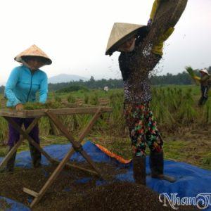 Khung cảnh thu hoạch lúa tím Nhân Thùy