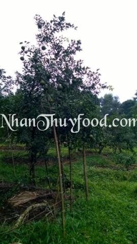 Quang cảnh xung quanh gốc cam Bù Hương Sơn trồng trên đồi núi của xã Sơn Hồng, bao quanh toàn bộ là núi rừng tự nhiên