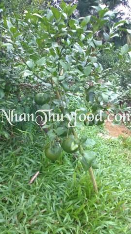 Cây Cam Bù Hương Sơn, trồng tự nhiên ở Sơn Hồng nằm gọn trong lùm cây cỏ.