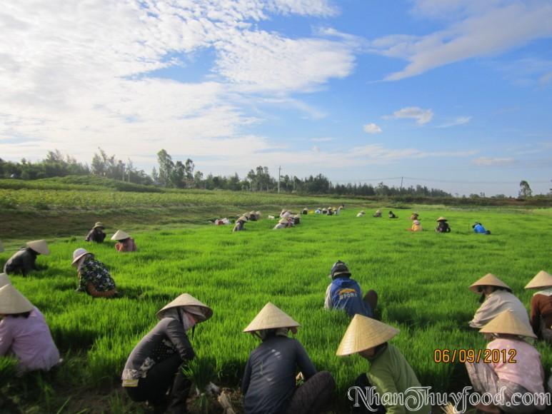 Quang cảnh người dân nhổ mạ trên cánh đồng organic