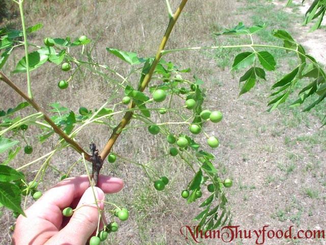 Cây Sầu Đâu-Xoan làm thuốc trừ sâu organic