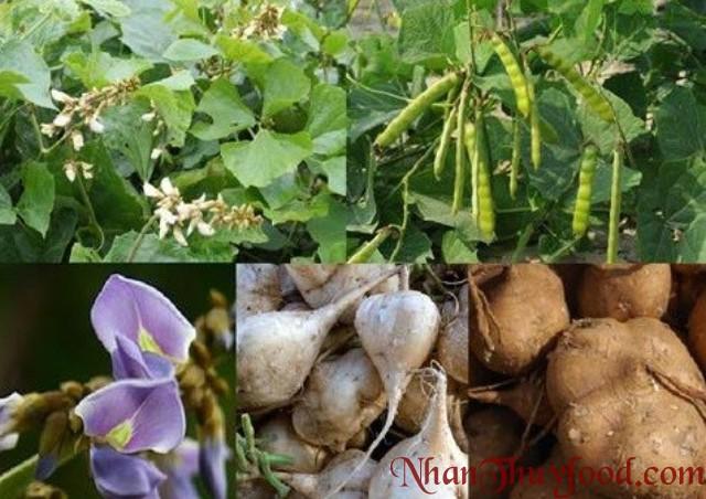Hạt, Thân, Hoa cây củ đậu chứa một lượng độc tố nhất định, sử dụng chúng gây tử vong, chưa có thuốc giải.