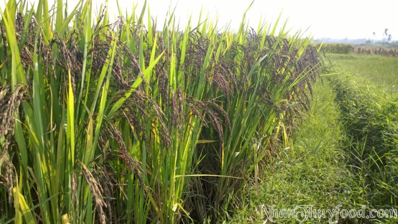 Cánh đồng lúa tím của NhanThuyfood luôn đươc theo dõi và quản lý chặt chẻ, chăm sóc kỹ càng của những con người tâ huyết.