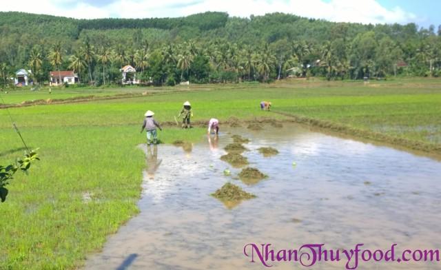 Cảnh những con người không dùng hóa chất để diệt cỏ, mà chấp nhận làm bằng tay , sau một thời gian dài ruộng để hoang.