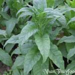 Tự chế biến thuốc trừ sâu từ cây thuốc lá (thuốc lào)