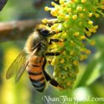 Phân biệt các loài ong cho mật