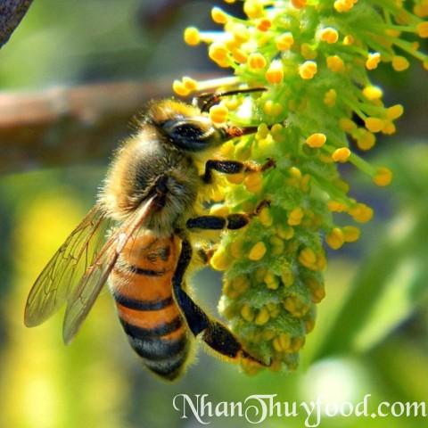 Đây là con ong Khoái, loài ong tự nhiên cho mật hung dữ.