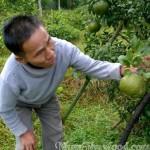 Cam Bù Hương Sơn- Sơn Hồng
