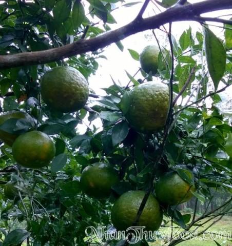 Những cành cam trĩu quả , Quả cam rất lớn, vỏ cam nhãn bóng có, võ cam sần sùi có, nhưng chúng đều mộng nước và rất nặng.