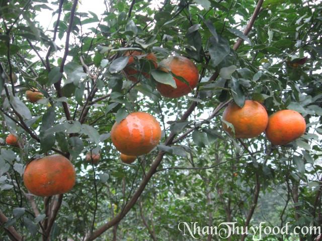 cây cam bù Hương Sơn
