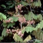 Tự làm thuốc trừ sâu từ cây Dây Mật (ruốc cá)