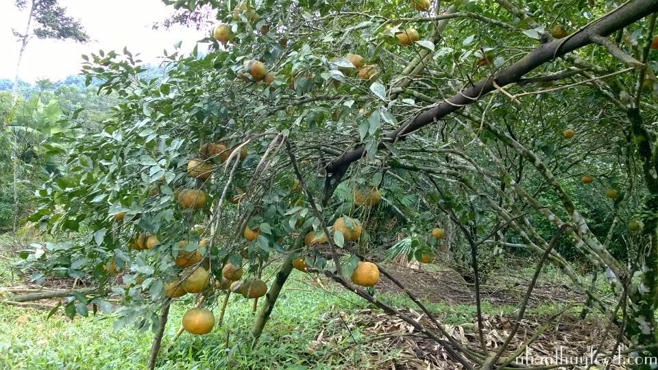 cây cam bù già cỗi, và quả cam rất đều và tự nhiên