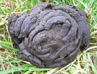 Phân Bò chăn thả tự nhiên là thứ phân bón tốt nhất cho canh tác hữu cơ