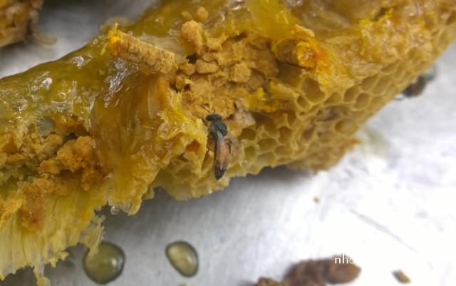 Ong ruồi nhỏ nhất trong tất cả loài ong cho mật