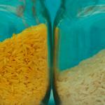 Lúa biến đổi gen Franken (Golden Rice) gây hại