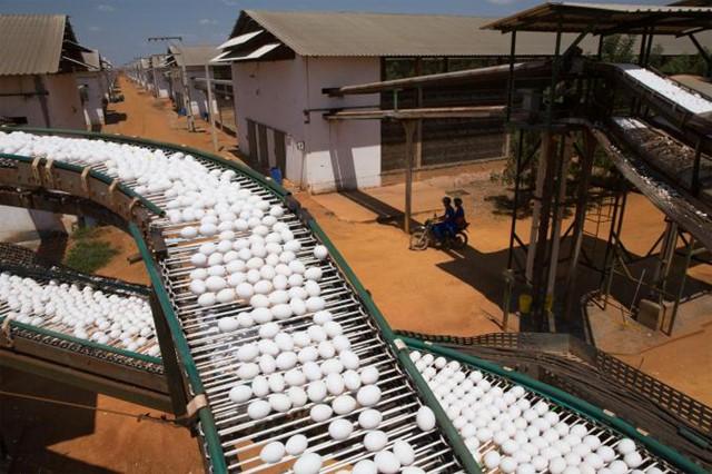 Khung cảnh một cơ sở trứng tại Granja Mantiqueira, Brazil