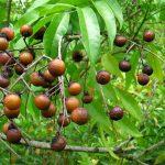 Mua quả Bồ Hòn ở đâu tại Hà Nội?
