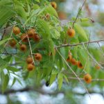 Bồ Hòn trồng nhiều ở đâu, phân bố chủ yếu ở tỉnh thành nào?
