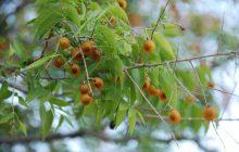 Cây Bồ Hòn sinh sống tự nhiên ở nhiều nơi