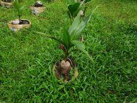 Kỷ thuật trồng và chăm sóc dừa xiêm cổ xưa Bình Định.