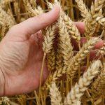 Gluten là gì? Và vì sao xu hướng tiêu dùng lại hạn chế không sử dụng thực phẩm chứa gluten?