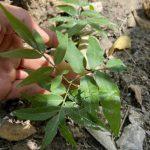 Kỹ thuật ươm hạt giống Bồ Hòn
