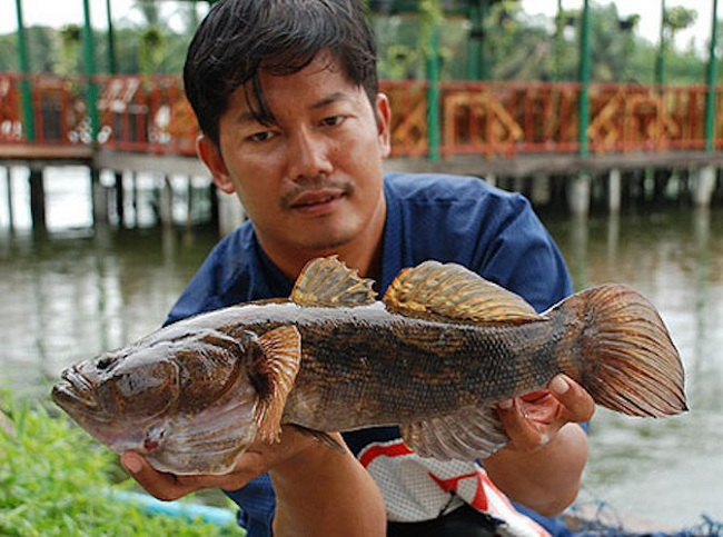Cá bống tai tượng lớn rất nhanh khi cho ăn bã dừa lên men